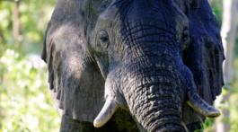 elefantes y otros grandes trofeos de caza
