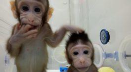 Monos clonados