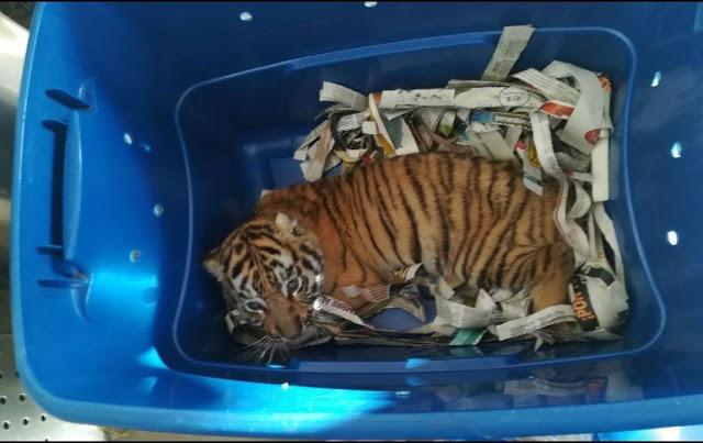 Cachorro de tigre enviado por paquetería en México