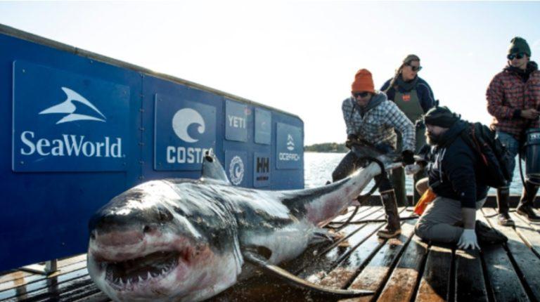 ¡Precaución!: Tiburón blanco de 907Kg nada en cayos de Florida