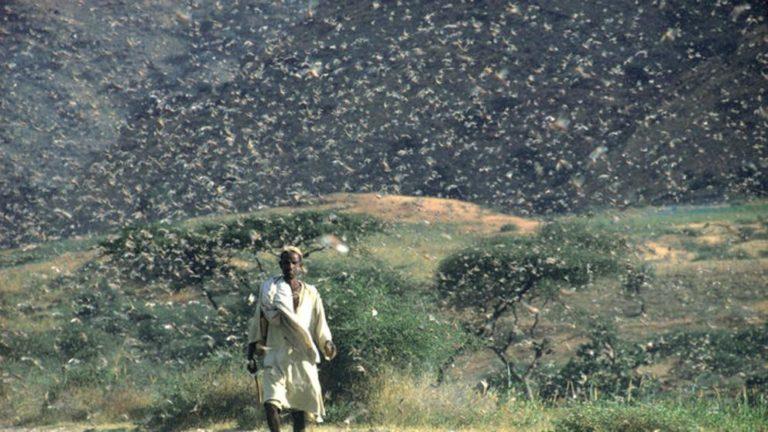 Plaga de langostas se come alimentos en África