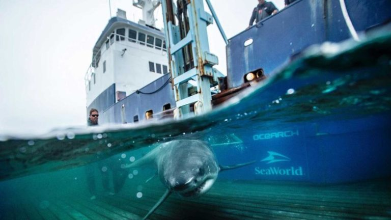Tiburón blanco rastreado sorprende a investigadores