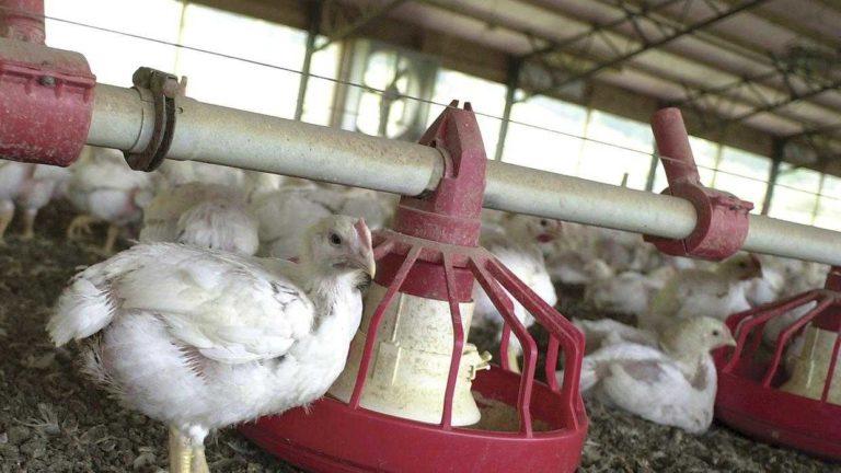 Granjeros en NC obligados a sacrificar pollos