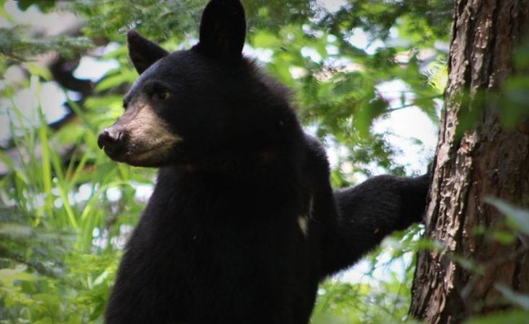 Ven a oso negro en el norte de Charlotte