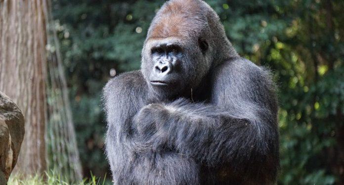 Gorilas de zoológico en San Diego recibieron vacuna contra COVID-19