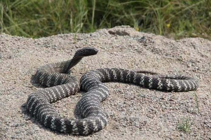 Dueño de la cobra venenosa que escapó en Raleigh enfrenta 40 cargos