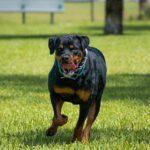 Ataque de rottweilers deja cuatro heridos en Raleigh