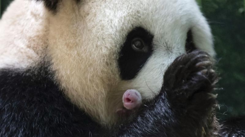 Huan Huan dio a luz a gemelos Panda en Francia