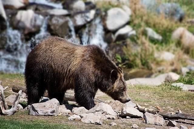 Un oso mató a un hombre en parque de Carolina del Norte