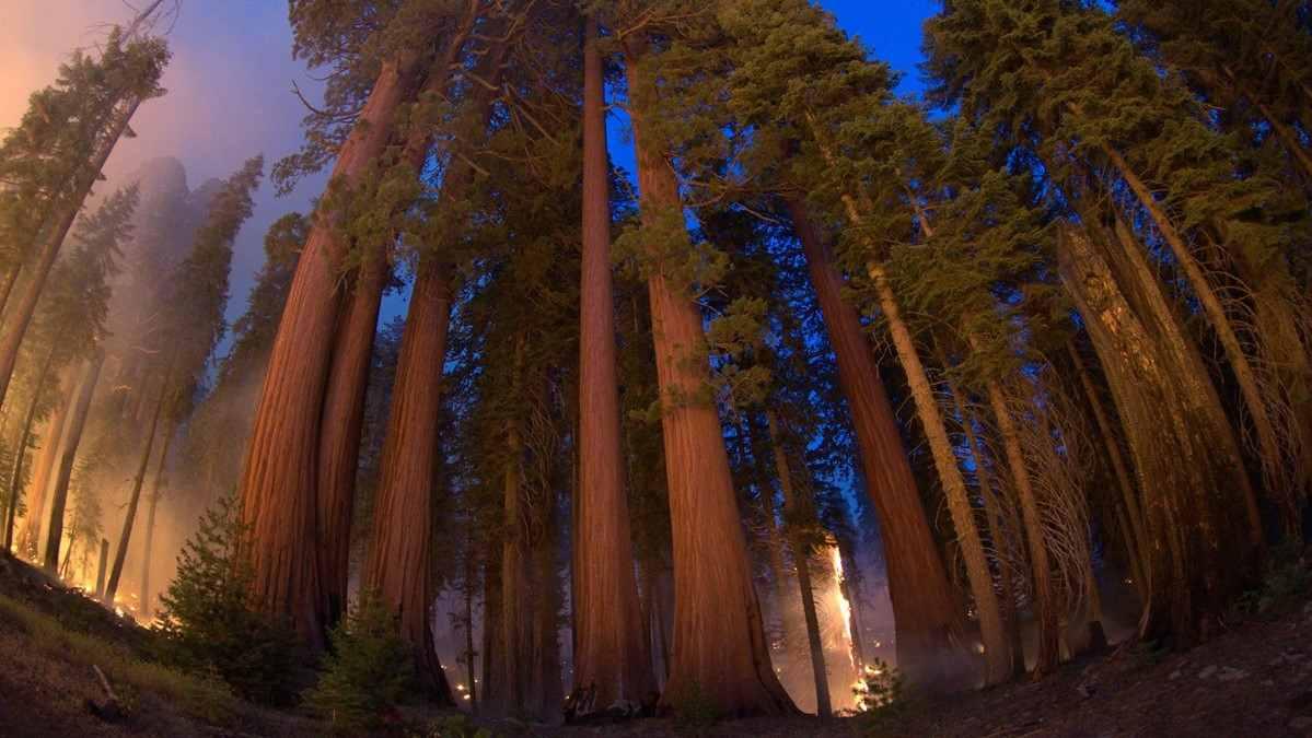 Miles de bomberos tratan de proteger a las Sequoia del fuego