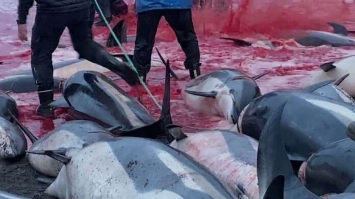Rechazo por masiva muerte de más de 1400 delfines en Islas Feroe