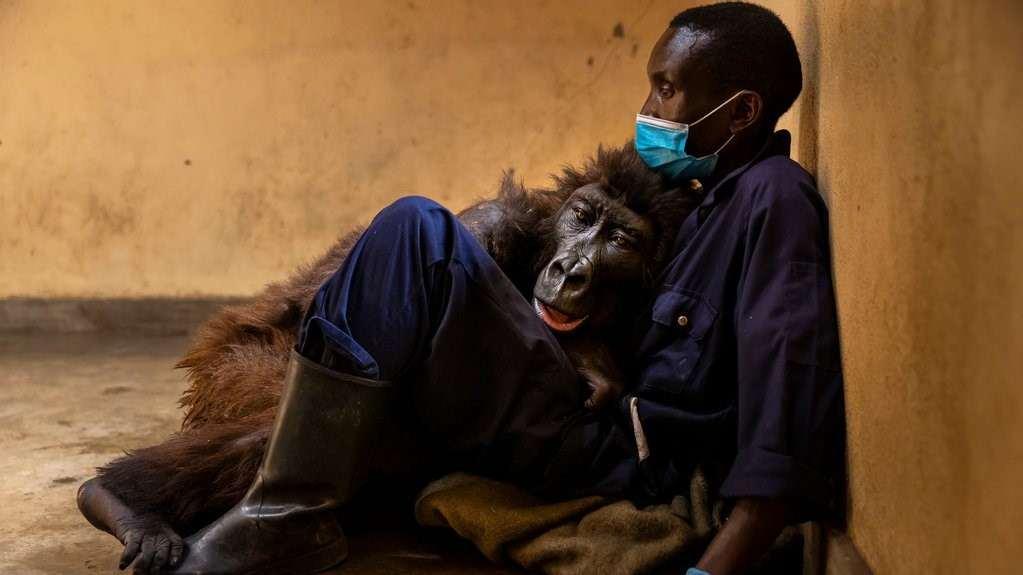 Falleció Ndakasi la famosa gorila del selfie con su cuidador