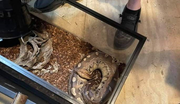 """Halladas 15 serpientes en un estado """"terrible"""""""